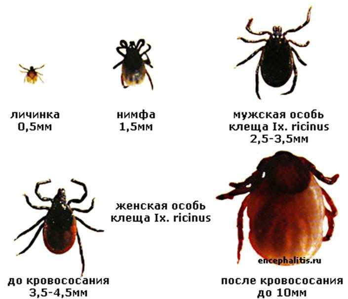 Энцефалит Русский Весенне-Летний фото