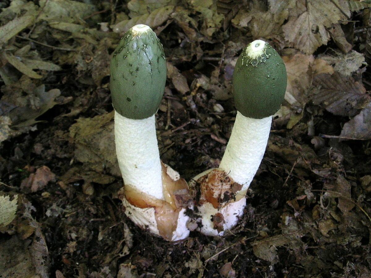 гриб веселка фото
