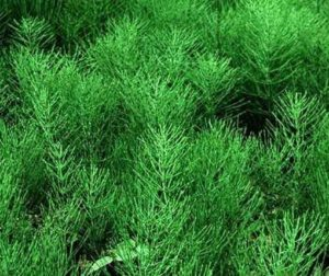 Хвощ полевой: лечебные свойства, противопоказания, состав, способы применения, Азбука здоровья