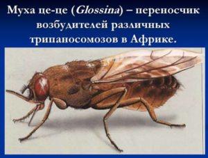 Укусы мух заражают спидом или нет